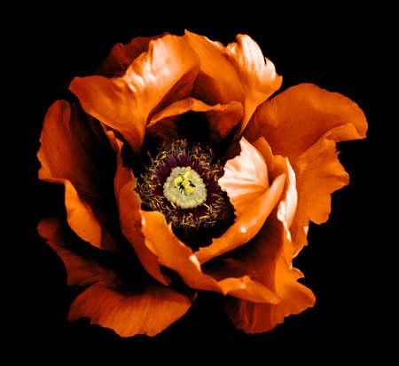 Surreal dark chrome orange peony flower macro isolated on black