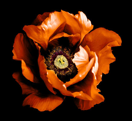 Surreal dark chrome orange peony flower macro isolated on black