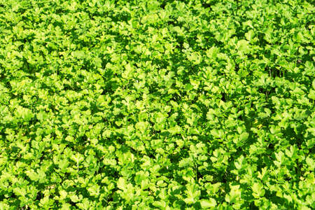 mustard leaf: Field of green leaf mustard background