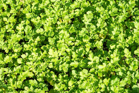 mustard leaf: Field of green leaf mustard background filtered Stock Photo
