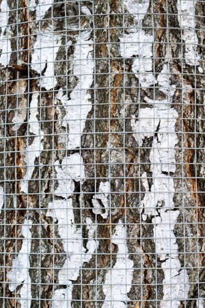 safety net: Safety net on birch bark against rodents texture