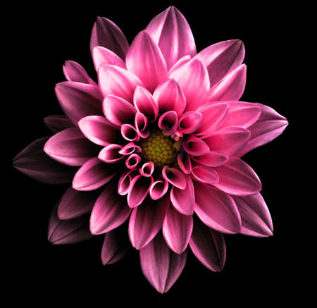Surreal dark chrome pink flower dahlia macro isolated on black 免版税图像