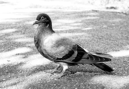 prideful: Bird pigeon walks on pavement black and white