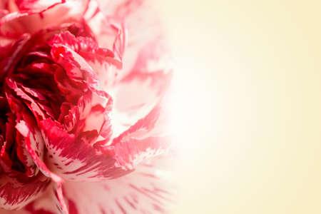 romantico: Dulce de p�talos color de rosa ex�tica en fondo beige rom�ntico gradiente Foto de archivo