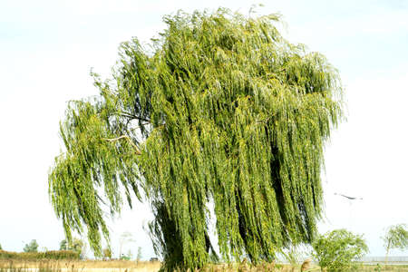 prideful: Ancient willow tree on sky background warm filtered