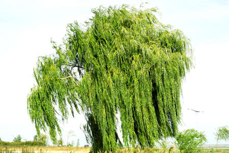 osier: Ancient willow tree on sky background