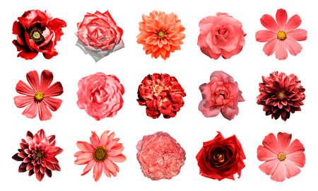 ramo de flores: Mezclar collage de flores naturales y surrealistas rojas 15 en 1: aislados en blanco dalias, pr�mulas, aster perenne, flor de la margarita, rosas, peon�as