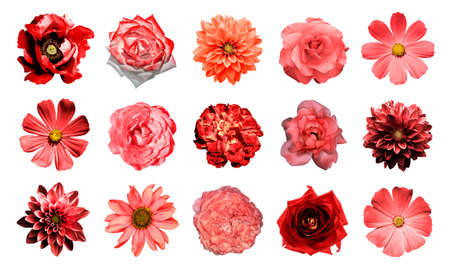black and white flowers: Mix collage of natural and surreal red flowers 15 in 1: dahlias, primulas, perennial aster, daisy flower, roses, peony isolated on white Stock Photo