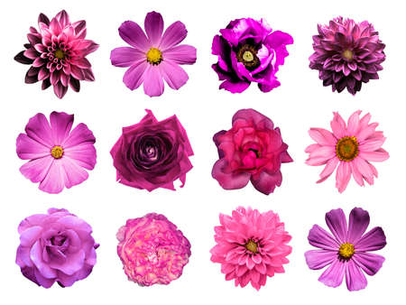 daisy flower: Mix collage of natural and surreal pink flowers 12 in 1: dahlias, primulas, perennial aster, daisy flower, roses, peony isolated on white