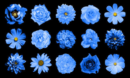 Mix collage of natural and surreal blue flowers 15 in 1: dahlias, primulas, perennial aster, daisy flower, roses, peony isolated on black Standard-Bild