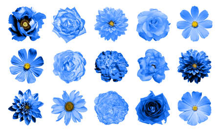 Mix collage of natural and surreal blue flowers 15 in 1: dahlias, primulas, perennial aster, daisy flower, roses, peony isolated on white