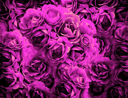 contrasted: Bush of violet rose flowers background high contrasted with vignetting effect Stock Photo