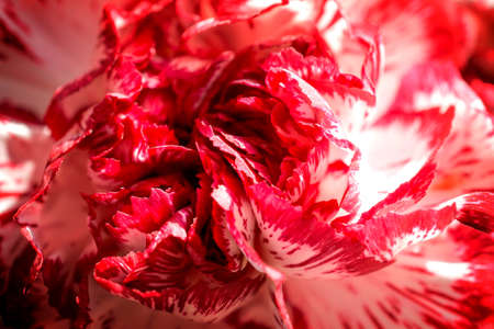 contrasted: Exotic white and red carnation macro high contrasted with vignetting effect background