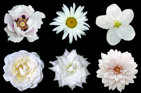 Mix collage of natural white flowers 6 in 1: peony, dahlia, roses, flax flower and daisy flower isolated on black