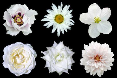 blanco: Mezclar collage de flores blancas naturales 6 en 1: peonía, dalia, rosas, flor de lino y flor de la margarita aislada en negro