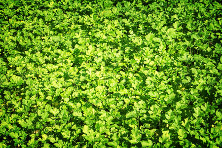 contrasted: Field of green leaf mustard high contrasted with vignetting effect background Stock Photo