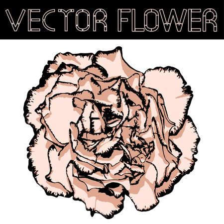 clove: Vector clove flower with beige petals and black edging. Vector illustration Illustration