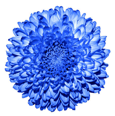 Surreal dark blue chrysanthemum (golden-daisy) flower macro isolated on white