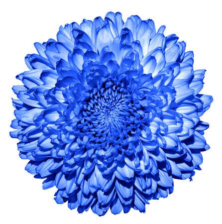 Surreal dark blue chrysanthemum (golden-daisy) flower macro isolated on white