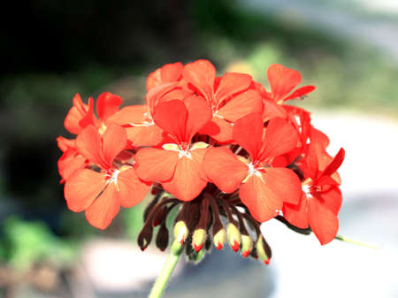 cranesbill: Tender red flower pelargonium cranesbill in the garden macro
