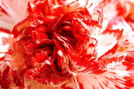 red  carnation: Exotic white and burgundy red carnation macro background