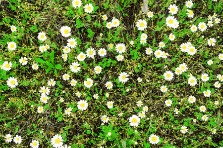 contrasted: White daisies (chamomiles) field high contrasted