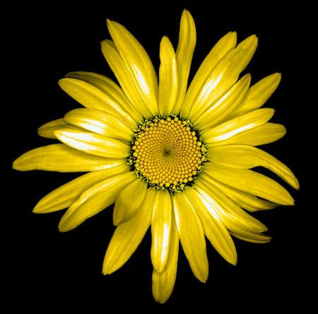 golden daisy: Surreal dark chrome golden daisy flower macro isolated on black