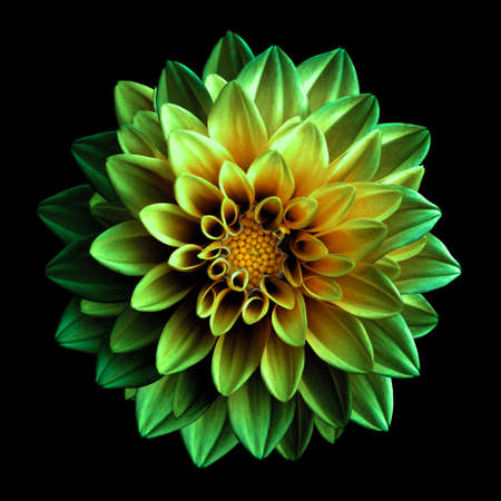 lime blossom: Surreal dark green and yellow flower dahlia macro isolated on black Stock Photo