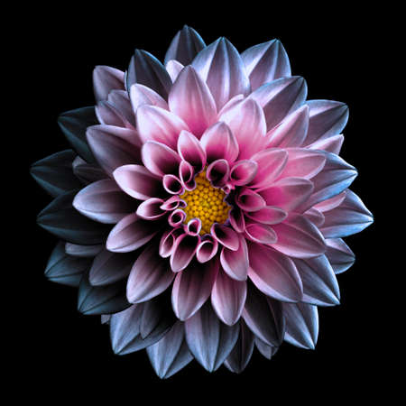 Surreal dark pink and purple flower dahlia macro isolated on black Foto de archivo