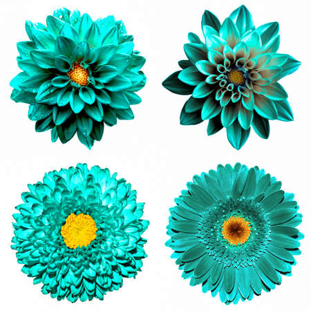 Set of 4 in 1 surreal turquoise flowers: chrysanthemum, gerbera and dahila flowers isolated on white