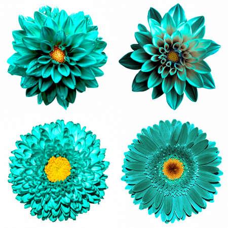 Ensemble de 4 à 1 fleurs turquoise surréaliste: chrysanthème, gerbera et dahila fleurs isolé sur blanc Banque d'images