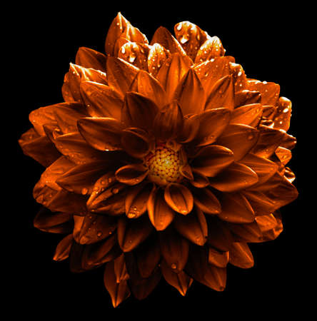 Surreal dark orange and white flower dahlia macro isolated on black Stock Photo
