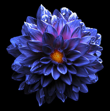 blue violet: Surreal wet dark violet and blue and white flower dahlia macro isolated on black