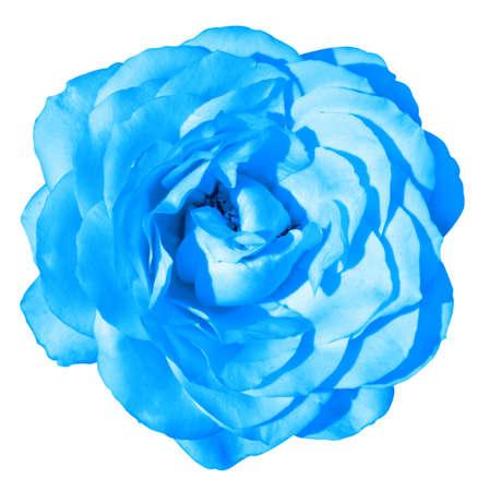 blue rose: Blue rose flower macro isolated on white