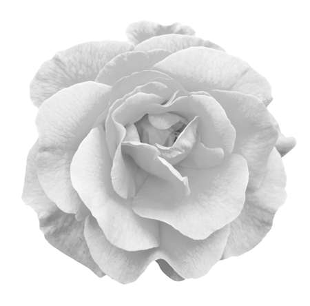 white rose: Tender rose flower macro isolated on white black and white Stock Photo