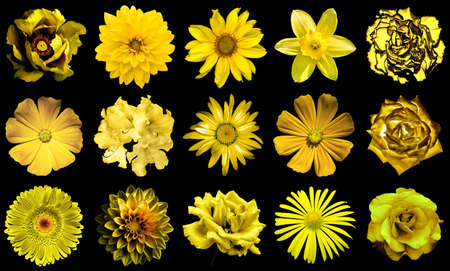 gold flax: Mix collage of natural and surreal yellow gold flowers 15 in 1: peony, dahlia, primula, aster, daisy, rose, gerbera, clove, chrysanthemum, cornflower, flax, pelargonium isolated on black
