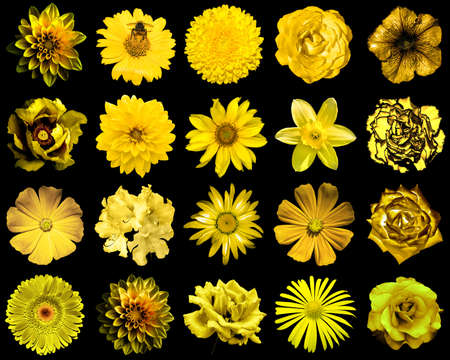 gold flax: Mix collage of natural and surreal yellow gold flowers 20 in 1: peony, dahlia, primula, aster, daisy, rose, gerbera, clove, chrysanthemum, cornflower, flax, pelargonium isolated on black Stock Photo