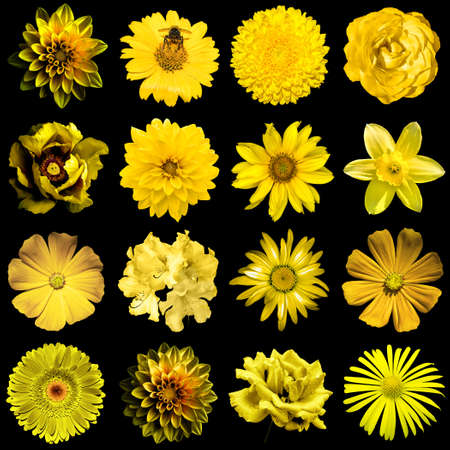 gold flax: Mix collage of natural and surreal yellow gold flowers 16 in 1: peony, dahlia, primula, aster, daisy, rose, gerbera, clove, chrysanthemum, cornflower, flax, pelargonium isolated on black