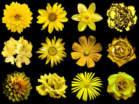 gold flax: Mix collage of natural and surreal yellow gold flowers 12 in 1: peony, dahlia, primula, aster, daisy, rose, gerbera, clove, chrysanthemum, cornflower, flax, pelargonium isolated on black Stock Photo