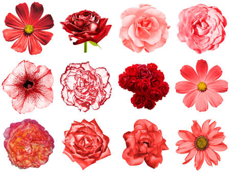 Mix collage of natural and surreal red flowers 12 in 1: peony, dahlia, primula, aster, daisy, rose, gerbera, clove, chrysanthemum, cornflower, flax, pelargonium isolated on white