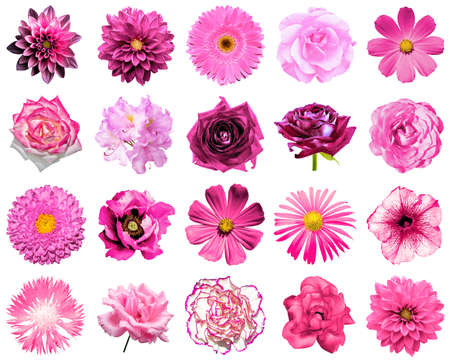 clove plant: Mix collage of natural and surreal pink flowers 20 in 1: peony, dahlia, primula, aster, daisy, rose, gerbera, clove, chrysanthemum, cornflower, flax, pelargonium isolated on white