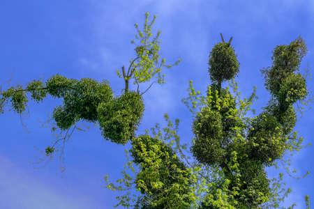 osier: Strange old tree on blue cloudy sky background