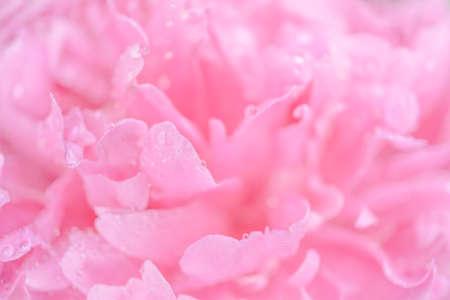 Licitar húmeda flor rosa peonía macro de fondo