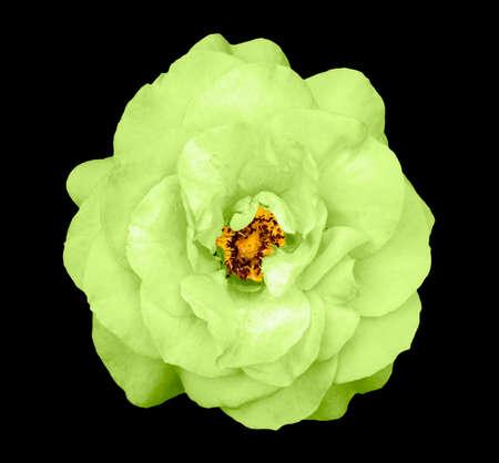Natural tender green rose flower isolated on black