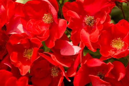 Field of red poppy like flowers macro background stock photo field of red poppy like flowers macro background stock photo 59951451 mightylinksfo