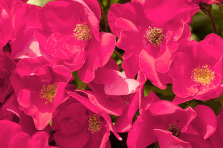Field of pink poppy like flowers macro background stock photo field of pink poppy like flowers macro background stock photo 59951452 mightylinksfo