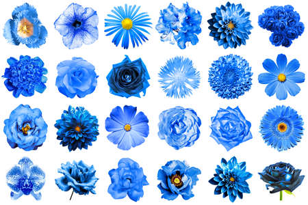 Collage of natural and surreal blue flowers 24 in 1: peony, dahlia, primula, aster, daisy, rose, gerbera, clove, chrysanthemum, cornflower, flax, pelargonium, marigold, tulip isolated on white