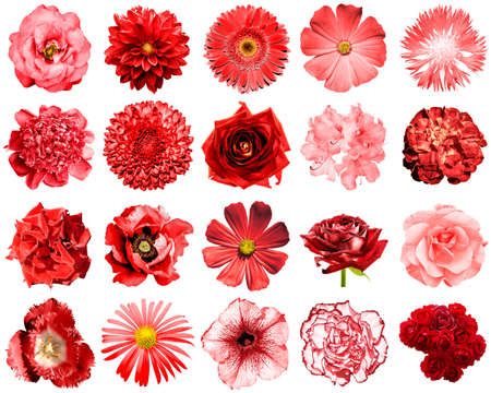 Mix collage of natural and surreal red flowers 20 in 1: peony, dahlia, primula, aster, daisy, rose, gerbera, clove, chrysanthemum, cornflower, flax, pelargonium, marigold, tulip isolated on white