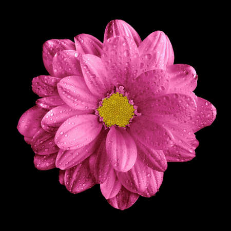 surrealistic: Surreal dark chrome pink gerbera flower macro isolated on black