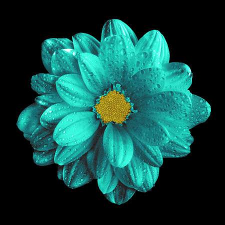 surrealistic: Surreal dark chrome turquoise gerbera flower macro isolated on black